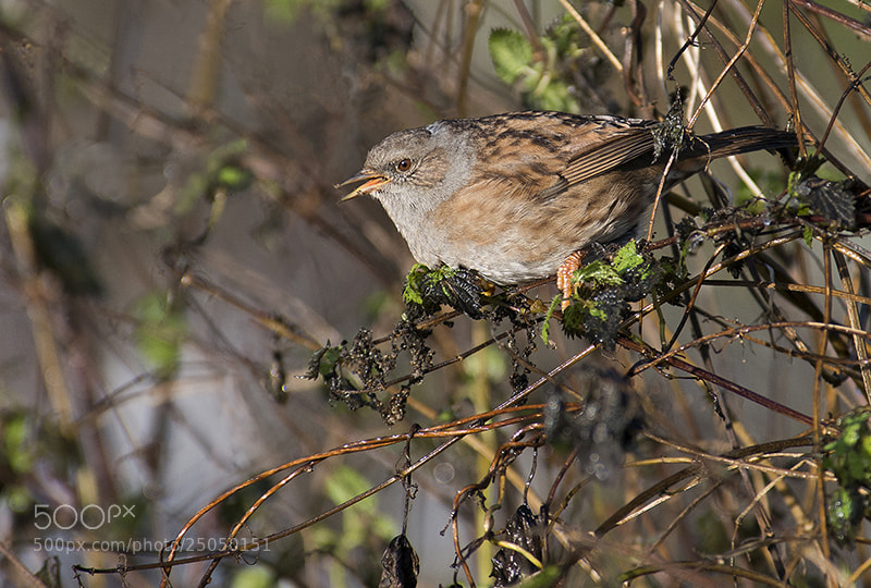 Photograph Dunnock by Andrew Chu on 500px