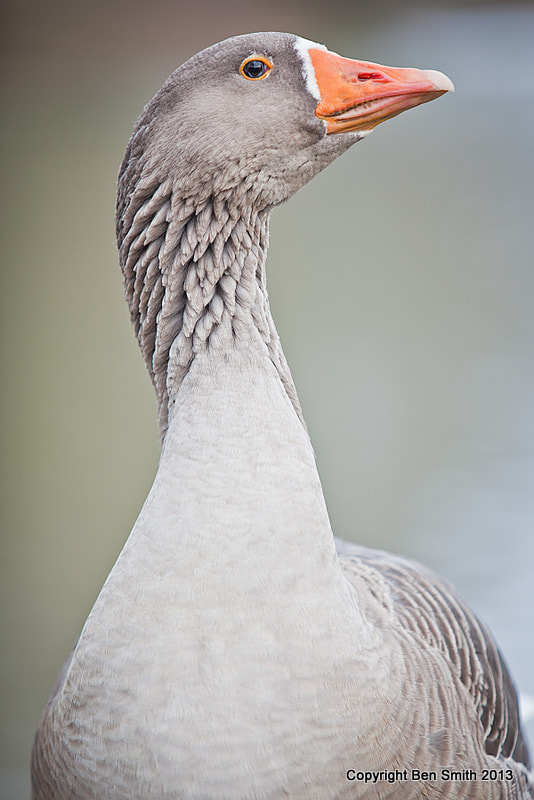 Photograph Goose by Ben Smith on 500px