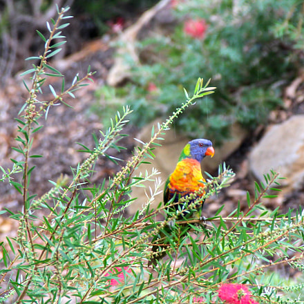 Lorikeet in the Rain