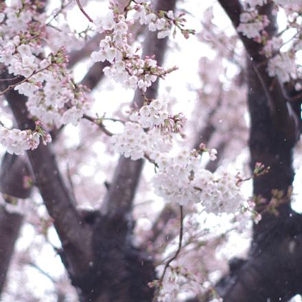 Cherry blossoms and snow, RICOH PENTAX K-S2, smc PENTAX-DA 50mm F1.8