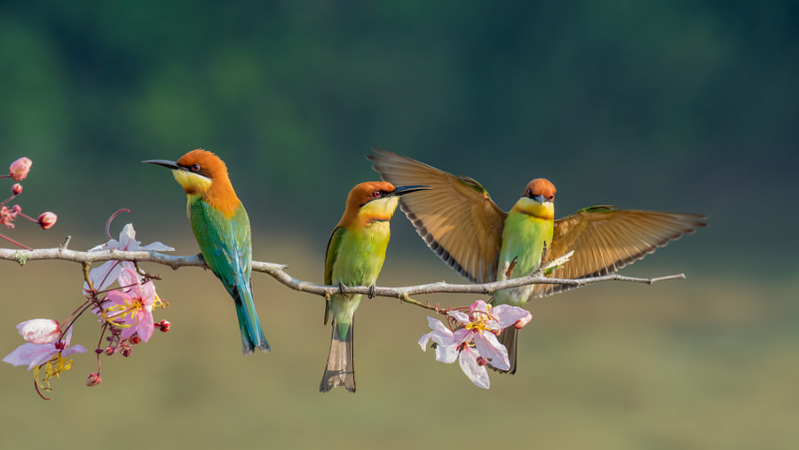 Two chestnut headed Bee-Eater on wood stick by Kann Buakerd on 500px.com