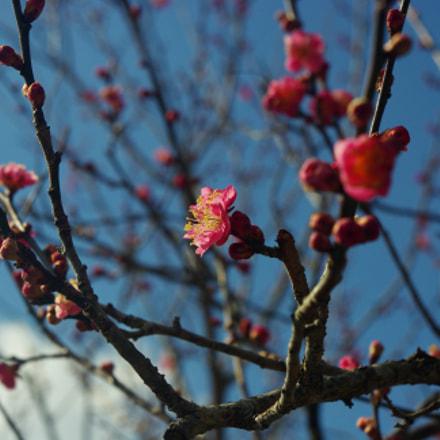 Japanese Plum Blossom, Pentax K-M, smc PENTAX-DA L 18-55mm F3.5-5.6