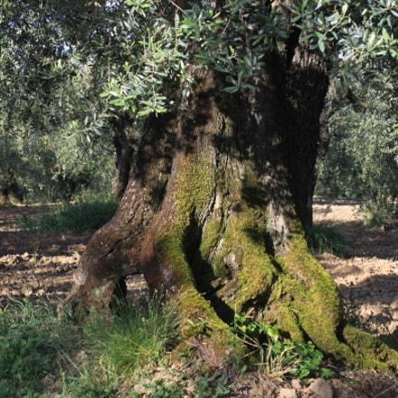 Olivenbaum Santo Pietro Fara, Canon EOS 500D, Canon EF-S 18-55mm f/3.5-5.6 IS