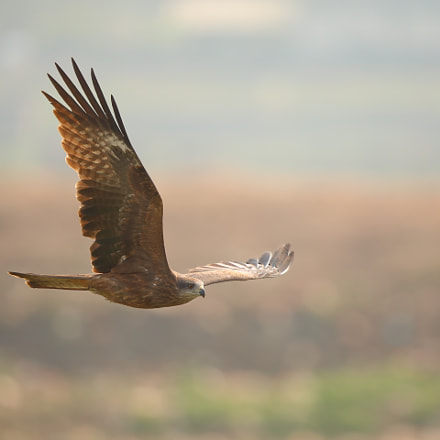 Black Kite, Canon EOS 5D MARK IV, Canon EF 500mm f/4L IS II USM
