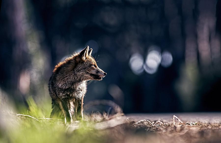 red fox, автор — melchiorre pizzitola на 500px.com