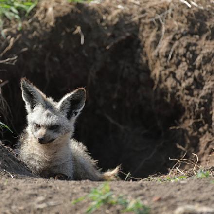 Bat eared fox, Canon EOS 5D MARK IV