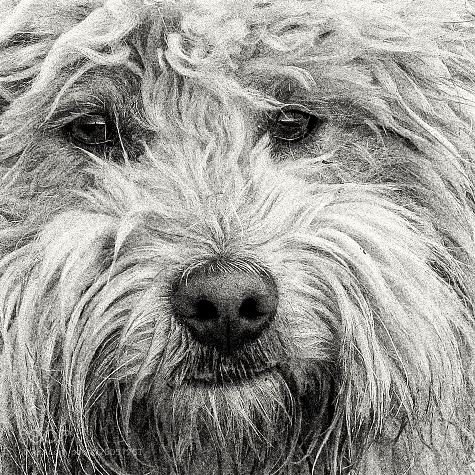 Photograph Puli by F Levente on 500px