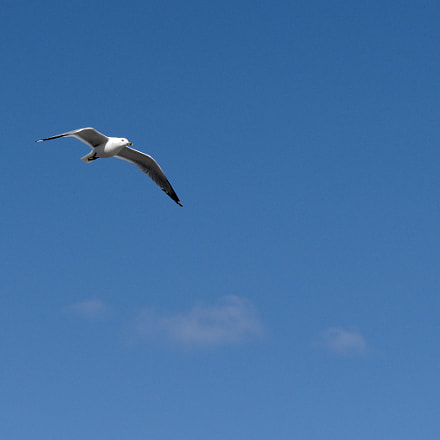 Spring Gull in Flight, RICOH PENTAX KP, smc PENTAX-FA 77mm F1.8 Limited