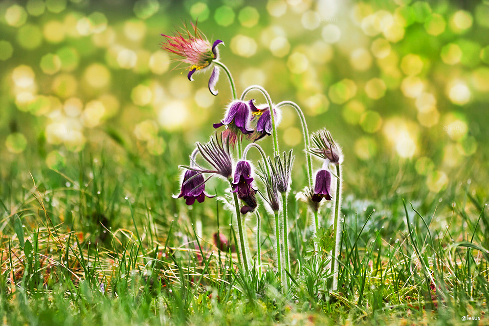 """Photograph Spring flowers - """"Pulsatilla"""" by F Levente on 500px"""