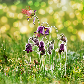 "Spring flowers - ""Pulsatilla"" by F Levente (Levente)) on 500px.com"