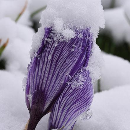 Crocus under snow, Nikon D750, Manual Lens No CPU