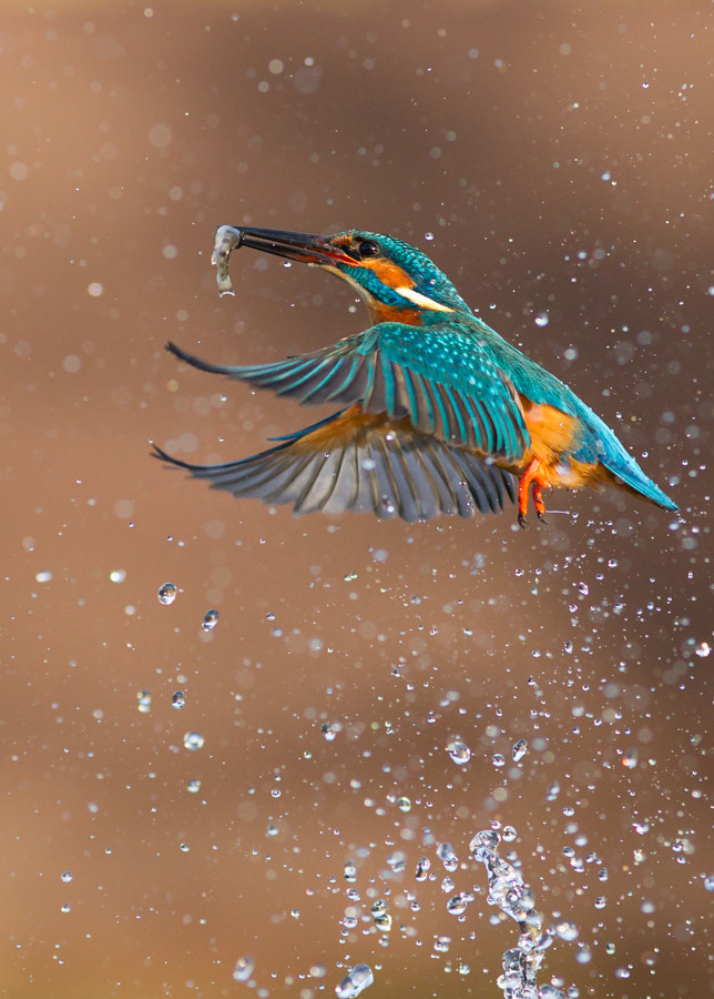 Photograph Kingfisher  by mark hancox on 500px
