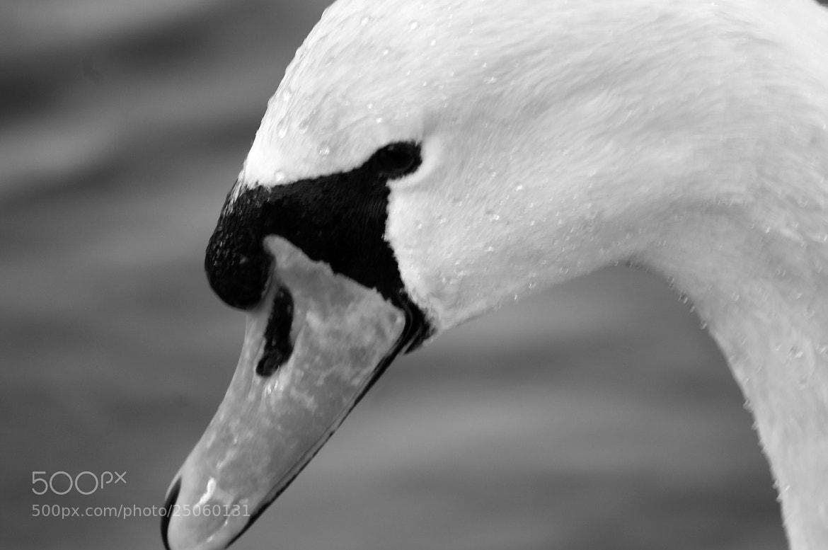 Photograph Swan by Lee Ashman on 500px