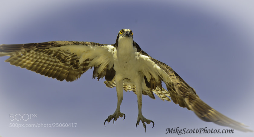 Photograph Osprey wide open by Mike Scott on 500px
