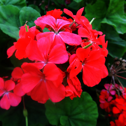 beautiful red Pelargonium blossoms, Sony DSC-HX10V