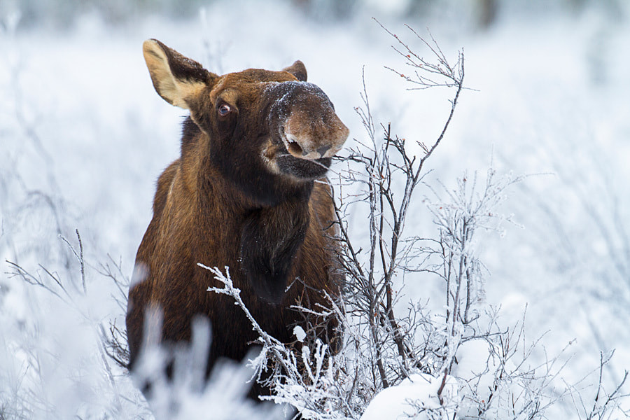 Photograph Moose feeding on willow bark by Nicolas Dory on 500px