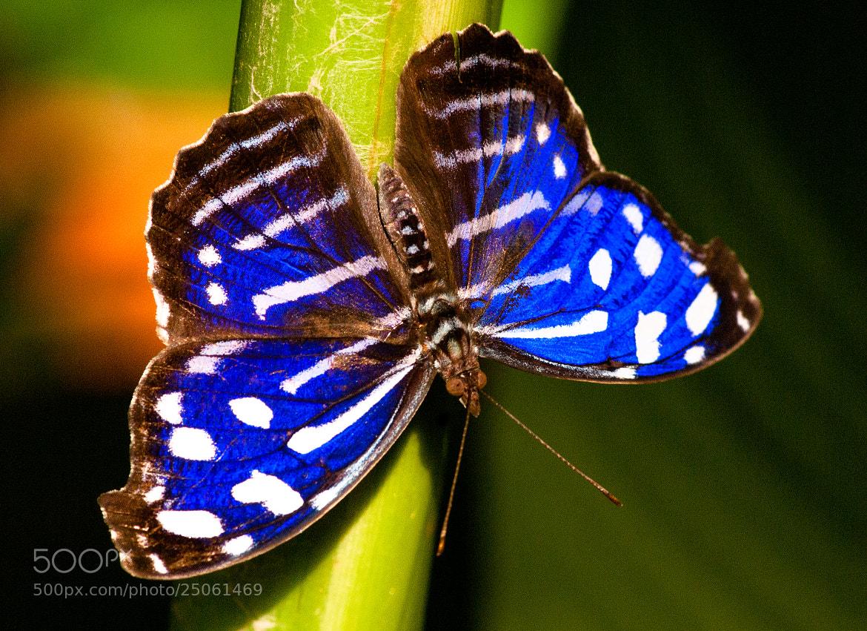 Photograph blue butterfly by Stephan Baumann on 500px