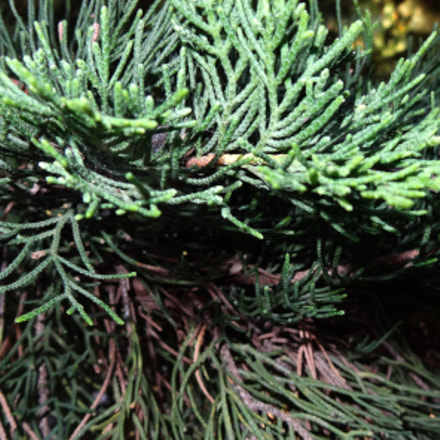 evergreen coniferous tree, Sony DSC-HX10V