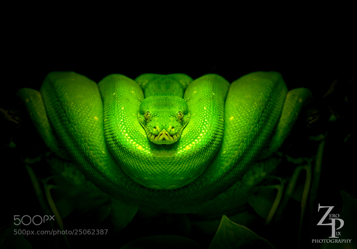 Photograph Green tree Python by ZeroPix Photography on 500px