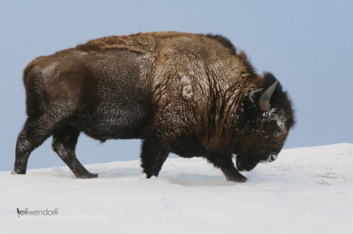 Photograph Lonely Bull in Winter by Jeff Wendorff on 500px