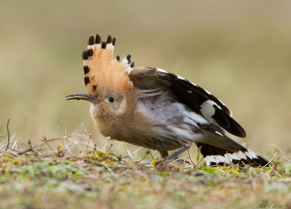Photograph Hoopoe by Rob Cross on 500px