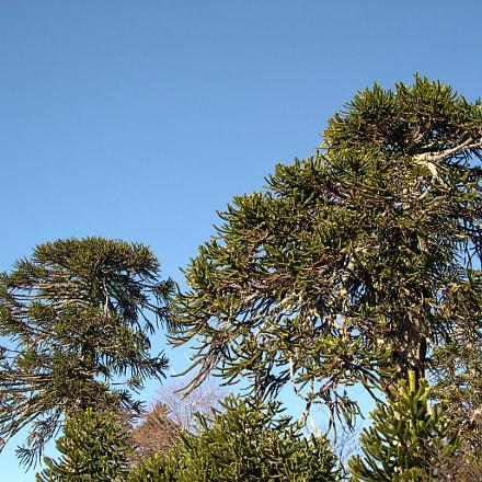 Araucaria tree, Nikon E4300