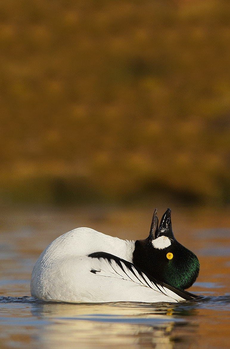 Photograph Displaying Goldeneye by Alex Berryman on 500px