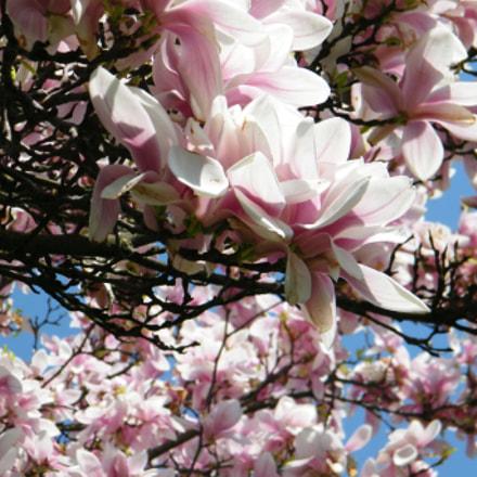 Magnolia tree, Fujifilm FinePix S2000HD S2100HD