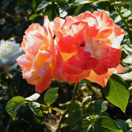Flower, Fujifilm FinePix S2000HD S2100HD