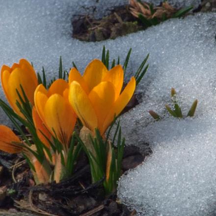 Spring flowers, Fujifilm FinePix S100FS