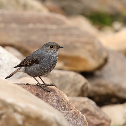 Plumbeous Water Redstart, Canon EOS 5D MARK IV, Canon EF 500mm f/4L IS II USM