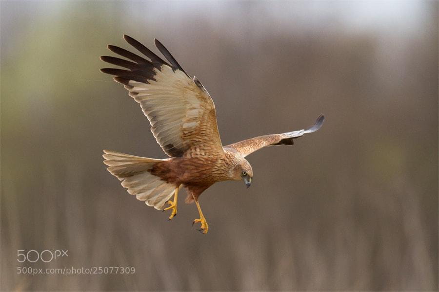 Photograph Marsh Harrier by Marcin Perkowski on 500px