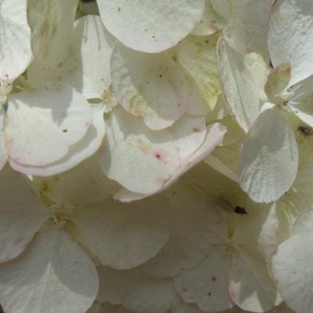 Hydrangea Flower, Sony DSC-W370
