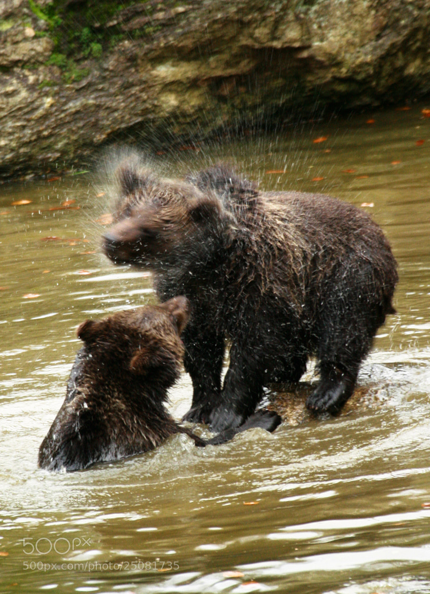 Photograph Young Bears Playing by David Batchelor on 500px