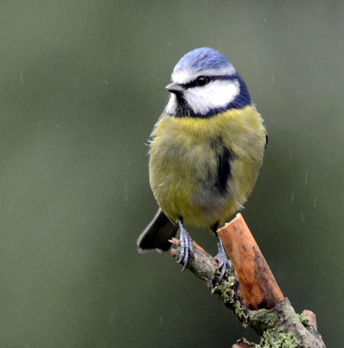 Photograph Blue Tit by Joshua  Roston on 500px