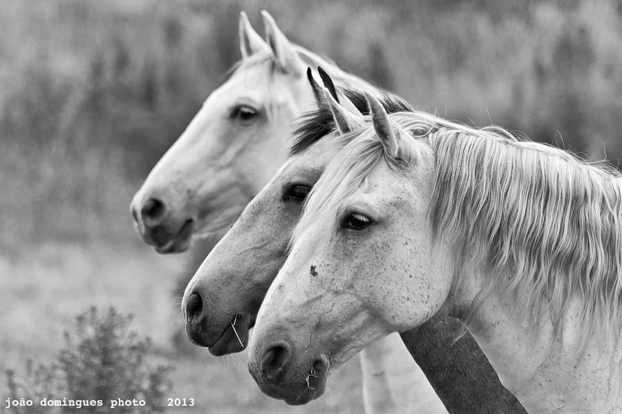 Photograph Lusitanos by João Domingues on 500px