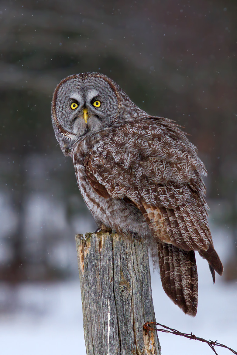 Photograph Had enough? Now piss off! - Great Grey Owl by Jim Cumming on 500px