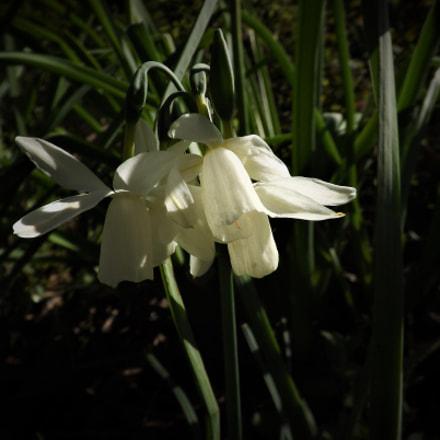 flor blanca, Fujifilm FinePix SL245