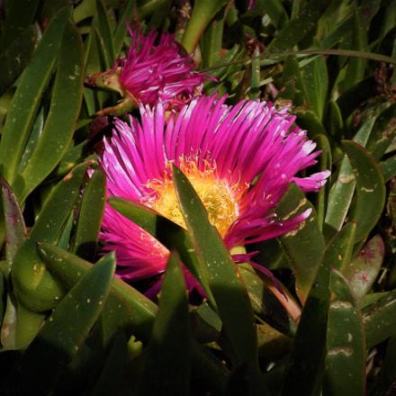 flor duna, Fujifilm FinePix SL245