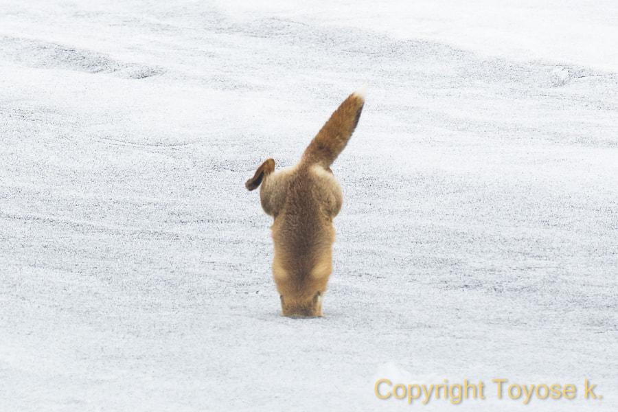 500px.comのKousuke Toyoseさんによるred fox !