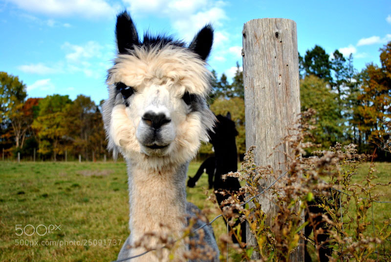 Photograph Llama by Sarah  on 500px