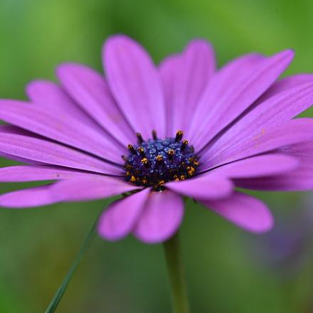 purple petal with blue, Nikon D750, AF Micro-Nikkor 200mm f/4D IF-ED