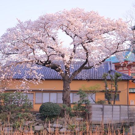 桜 sakura, Canon EOS 8000D, Tamron 16-300mm f/3.5-6.3 Di II VC PZD Macro