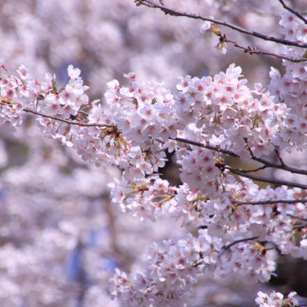 Sakura 桜, Canon EOS 8000D, Tamron 16-300mm f/3.5-6.3 Di II VC PZD Macro