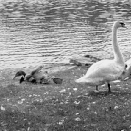 Swan family relaxing by, Samsung Galaxy Avant