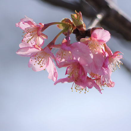 河津桜 cherry blossoms, RICOH PENTAX K-3 II, smc PENTAX-DA L 55-300mm F4-5.8 ED