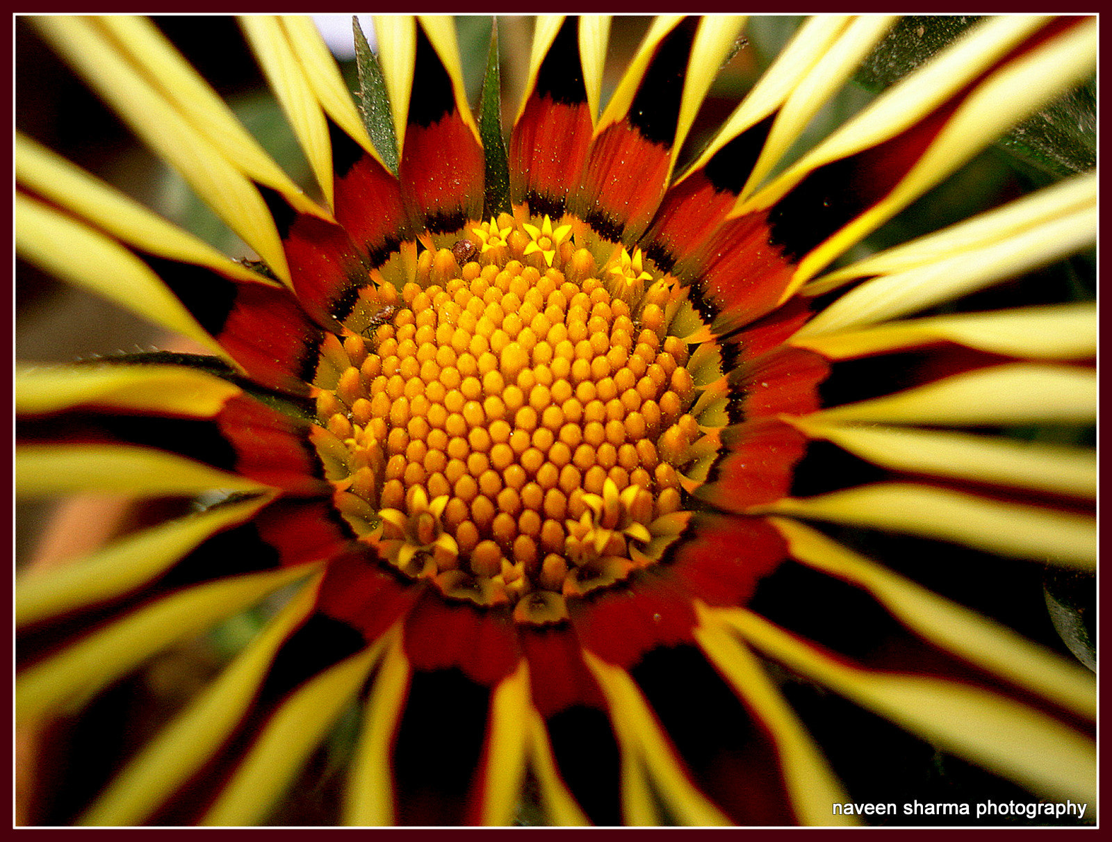 Photograph Another close view of different Gazania by naveen sharma on 500px