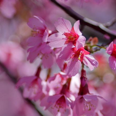 okame cherry, Canon EOS KISS X7, Tamron 90mm f/2.8