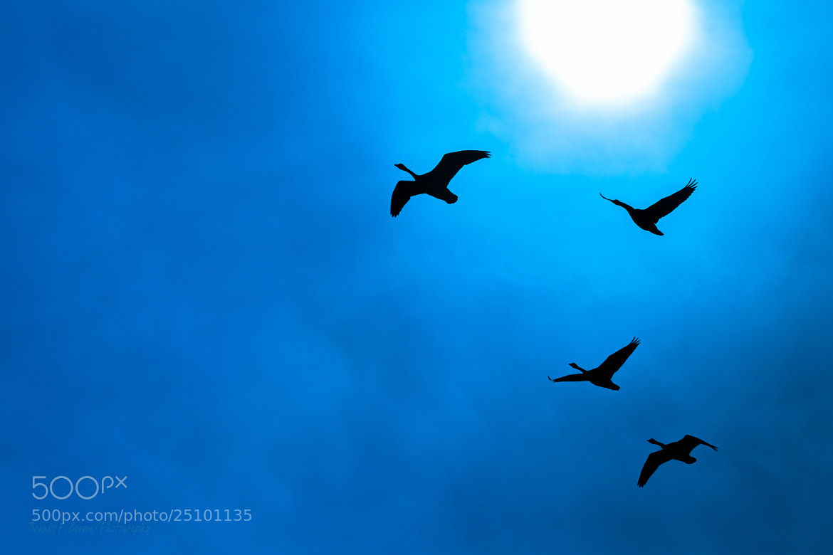 Photograph Wild geese on formation... by Braulio Cosme on 500px