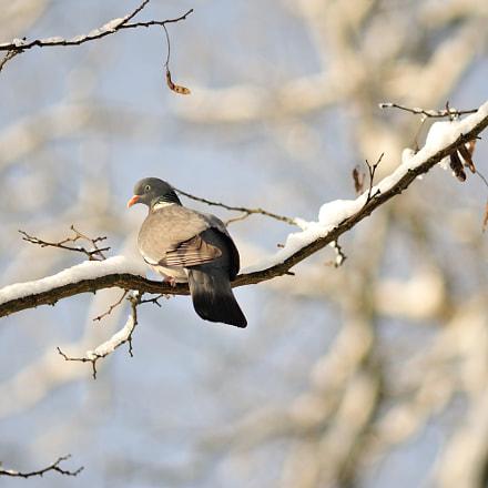 Pigeon, Nikon D700, AF Nikkor 300mm f/4 IF-ED